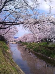 境川の花見 - Cherry Blossoms along the Sakai River
