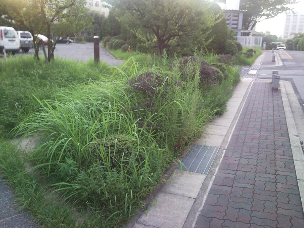 Tall Grass at Nagoya University